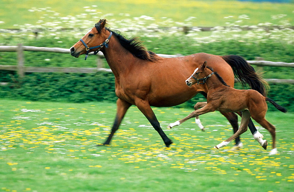 Thoroughbred mare and foal, Tring, Herts, England