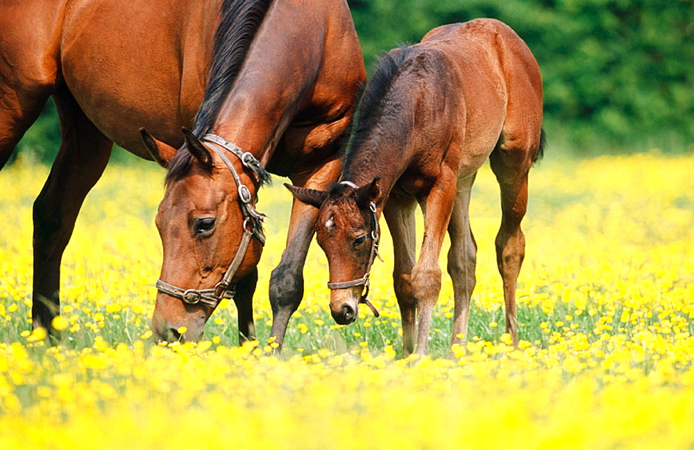 Thoroughbred bay mare and foal, Herts, England