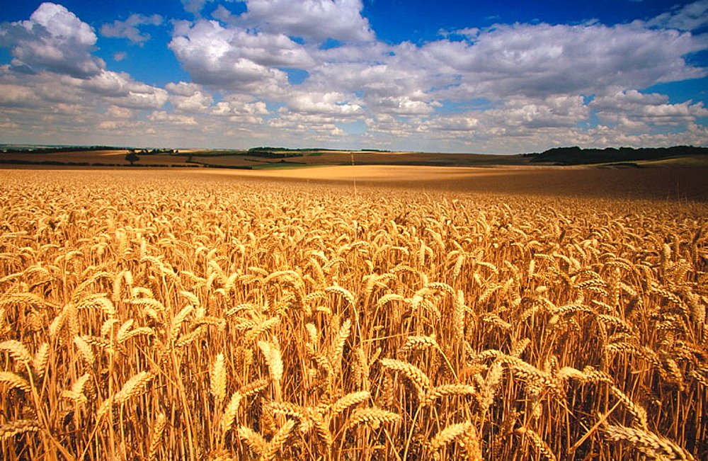 Wheat fields ready for harvest at Baldock, Hertfordshire, UK