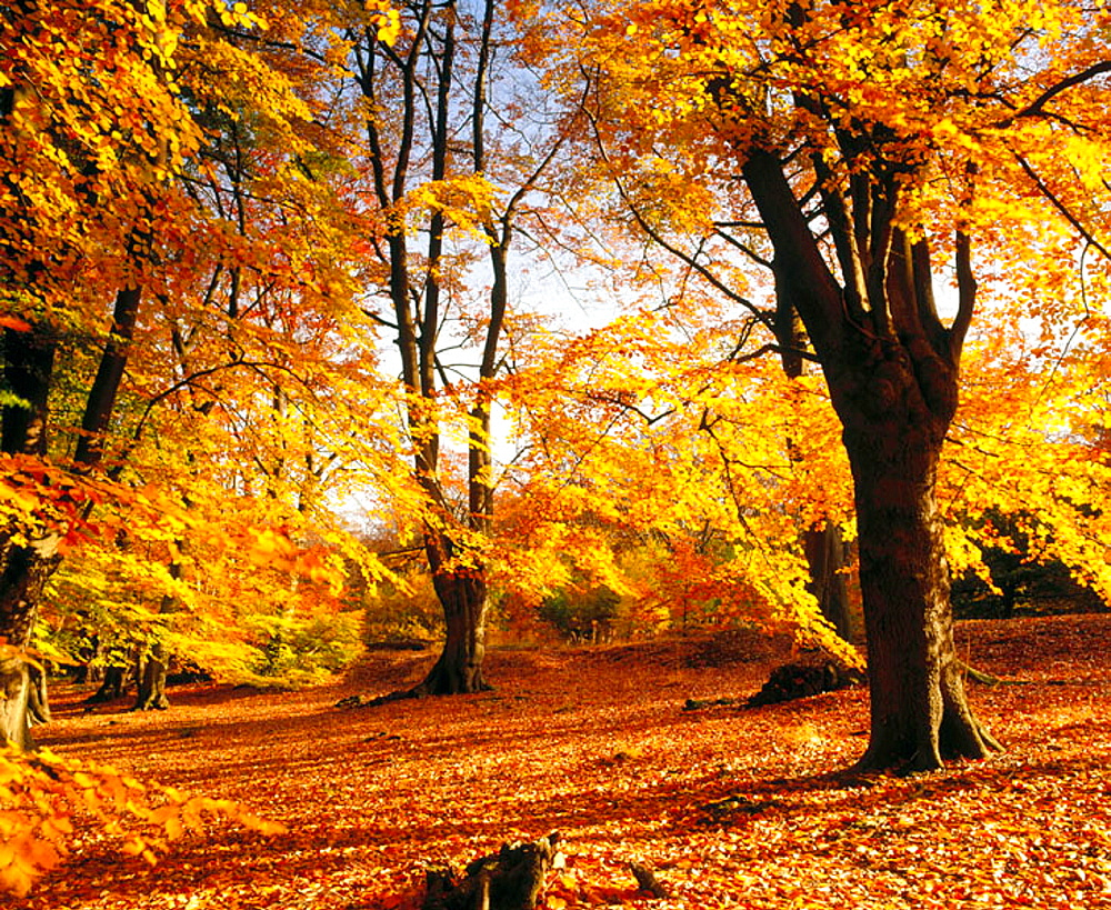 Ancient beeches in autumn, Golden Valley, Hertfordshire, UK - 817-48943