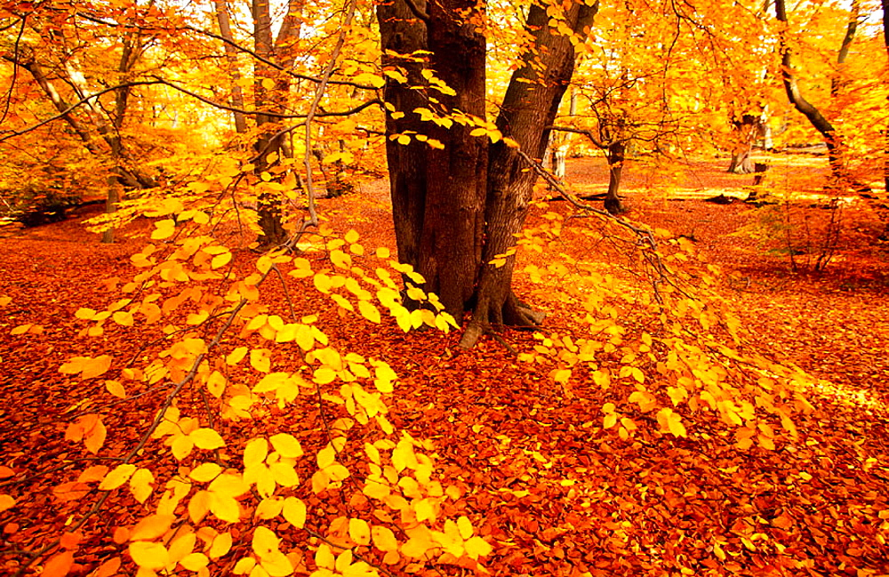 Beeches in full autumn colour, Epping Forest, Essex, UK - 817-48946