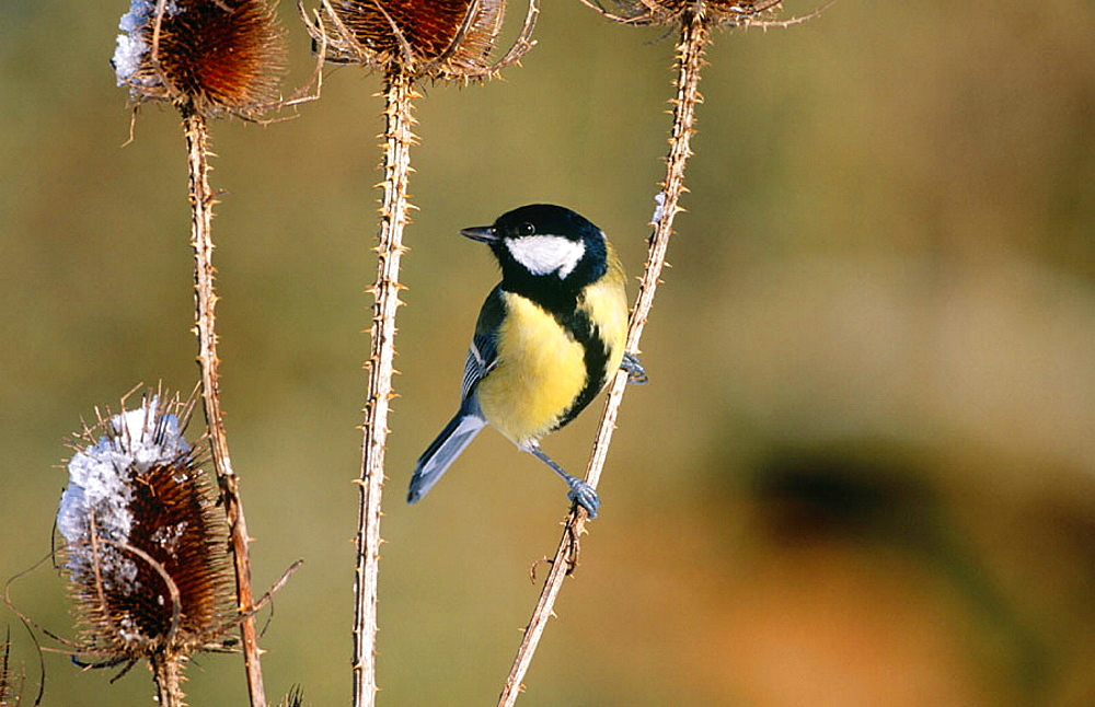 Great Tit (Parus major), Hertfordshire, England
