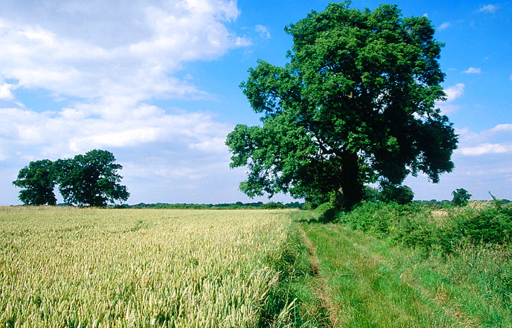 Ash, oaks and arable land in July, Berkhamsted, Hertfordshire, England