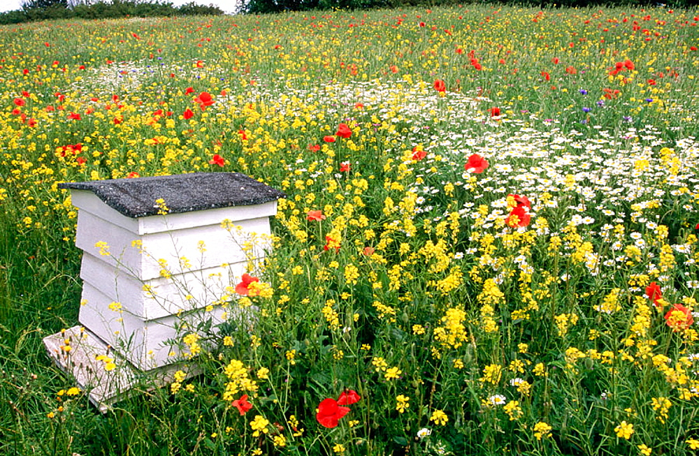 Bee hive in flowery meadow, Buckinghamshire, England, UK. - 817-49004