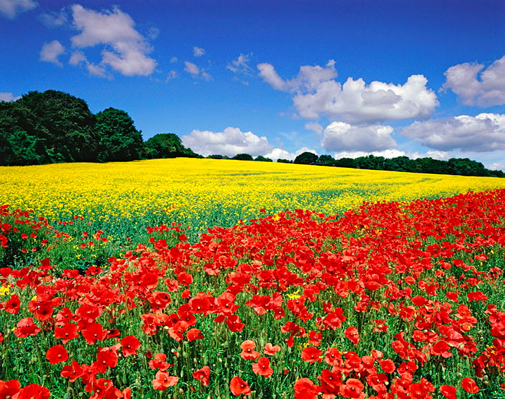 Oil seed rape field in flower with corn poppies in the margins, June, Hertfordshire, England, UK.