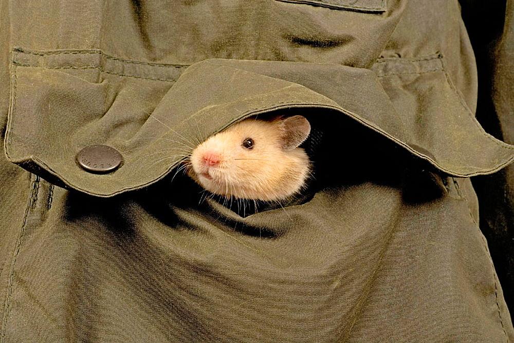 Hamster in pocket.