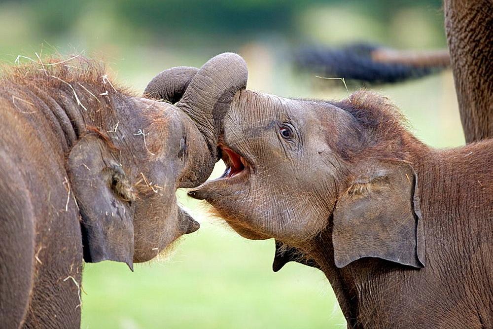 Asian elephant (Elephus maximus), calf.