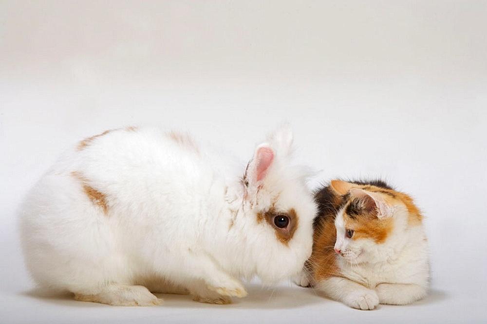 Lion Head Rabbit & Tortoishell Kitten