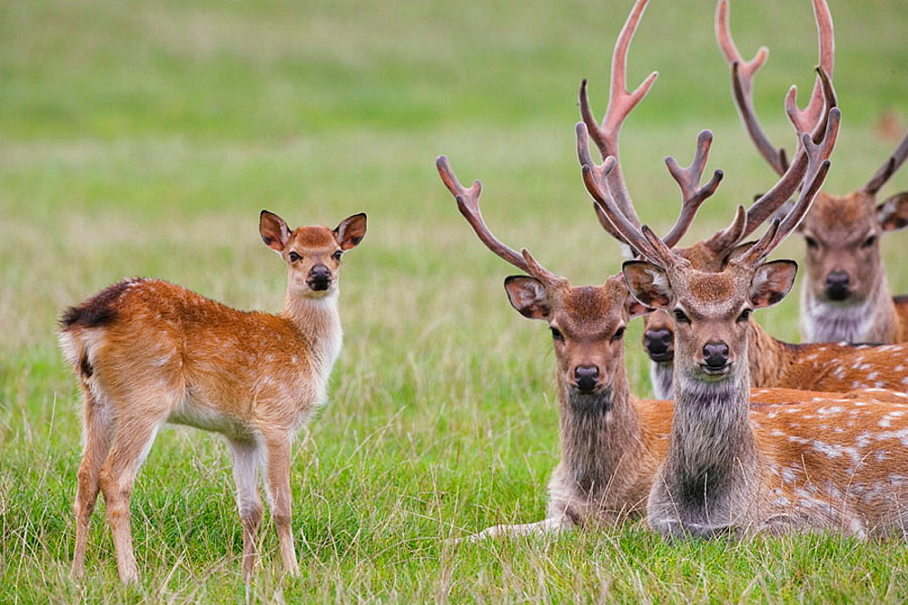 Sika Deer (Cervus nippon), Introduced from the Far East to the UK around 1875 to Dorset.