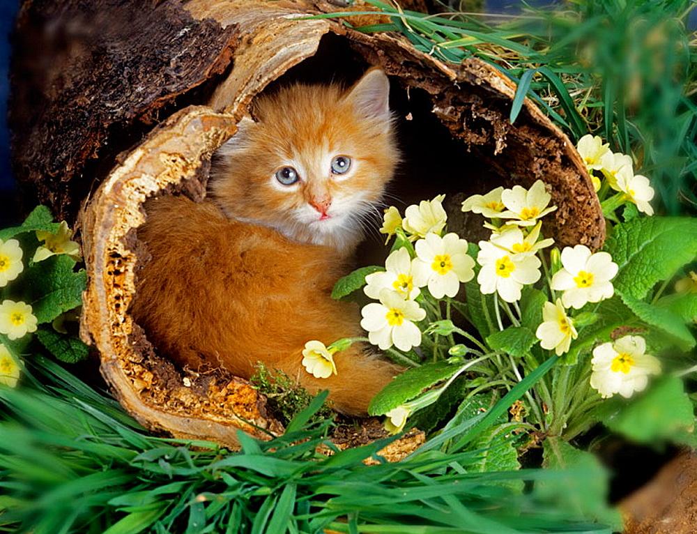 Kitten & Primroses