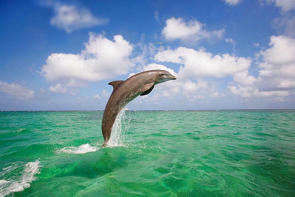 Bottle_nosed Dolphin Tursiops truncatus