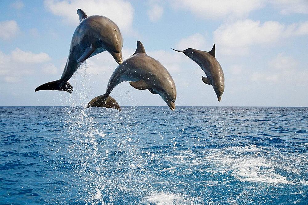 Bottle-nosed Dolphin Tursiops truncatus
