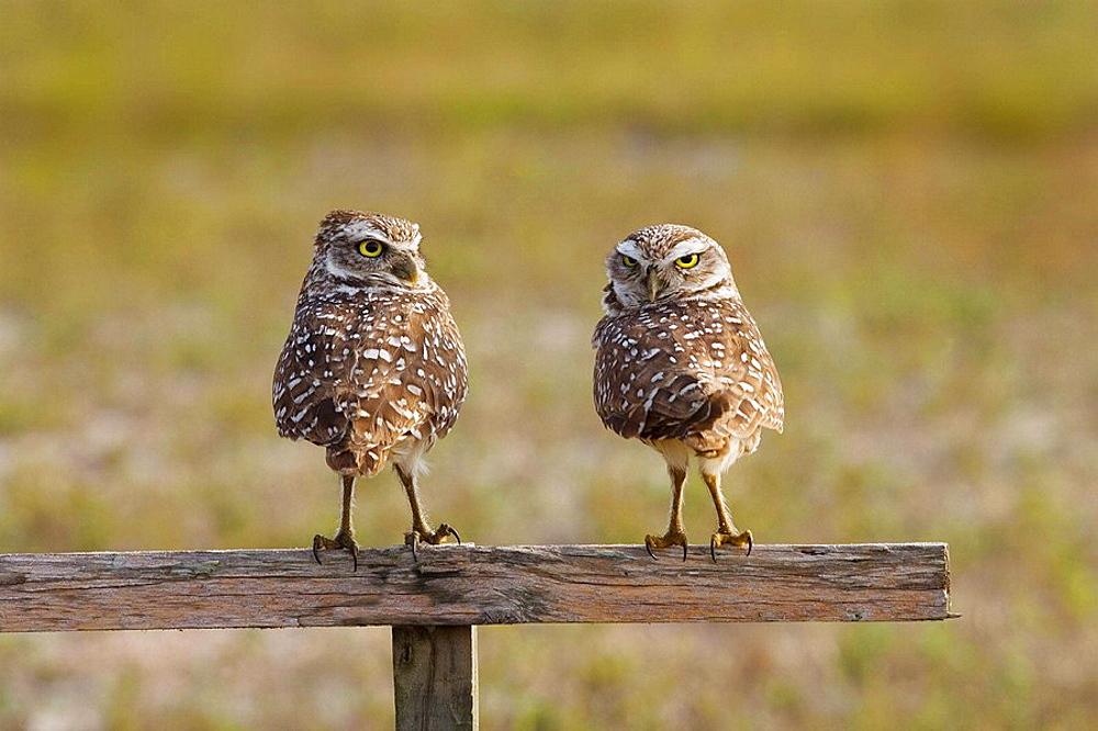 Burrowing Owl Athene cunicularia, Florida, USA