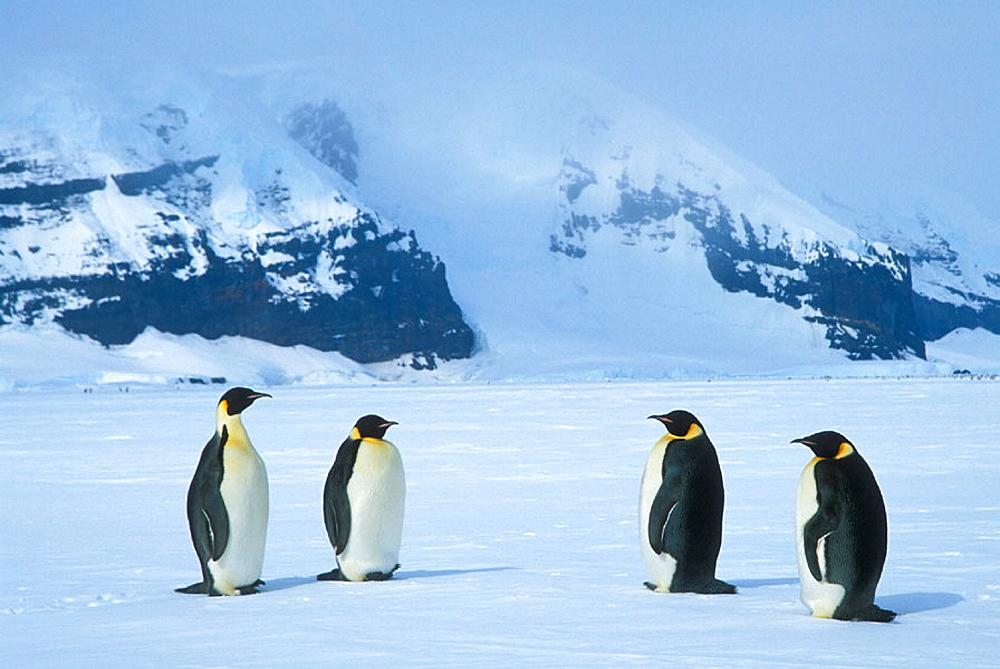 Emperor Penguins (Aptenodytes forsteri), Ross Sea, Antarctica