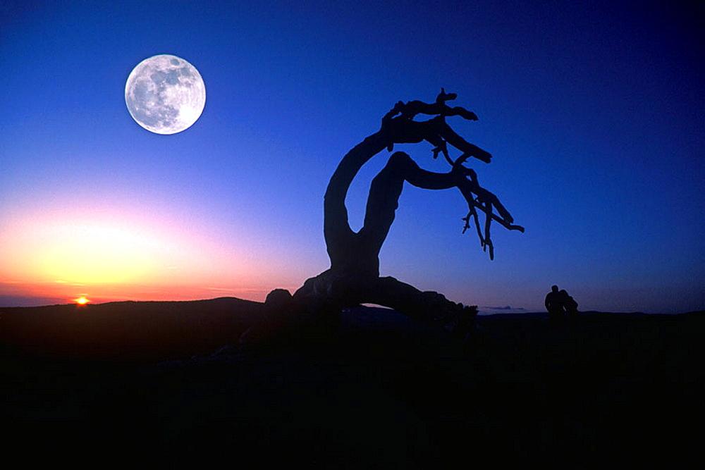 Scenic moon, jeffrey pine, Sentinel dome, Yosemite National Park, California, USA.