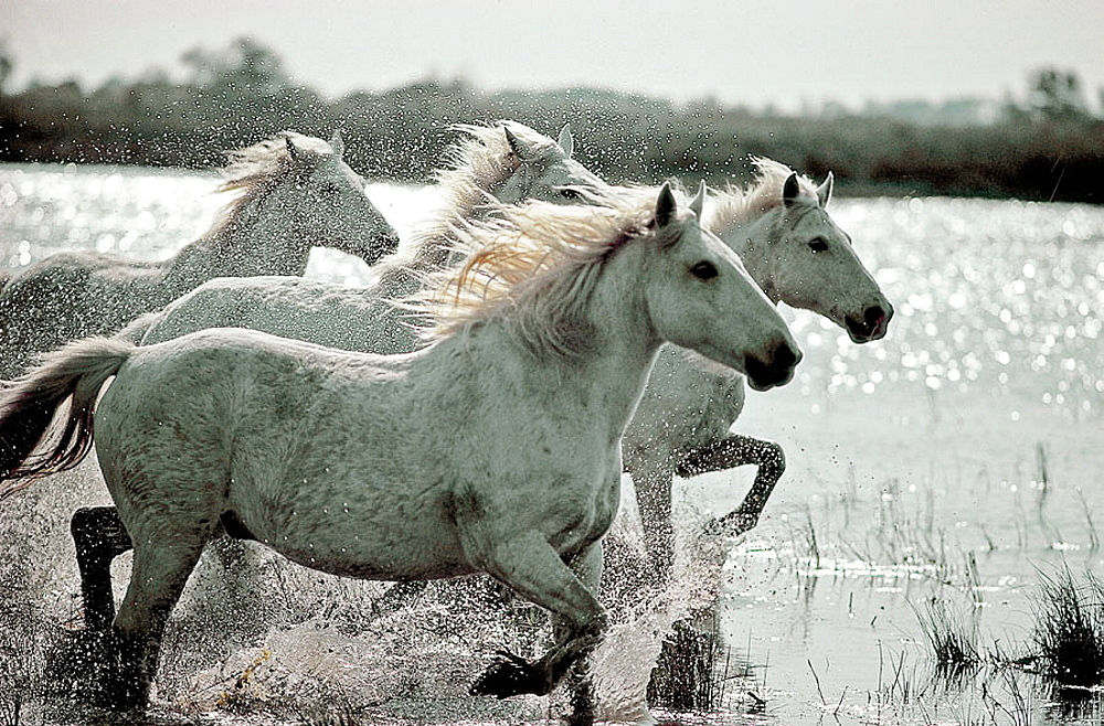 Wild Horse of Camargue, Running in water, Camargue, Southern France - 817-64287