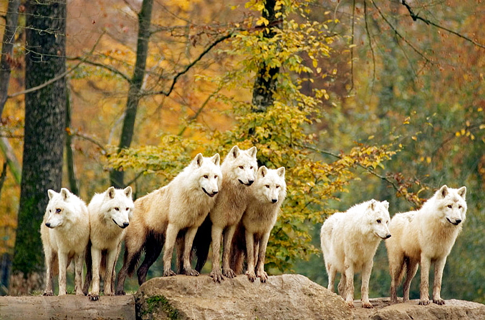 Arctic or Canadian wolf in autumn, Loup arctique ou du Canada, Canis lupus. - 817-64318