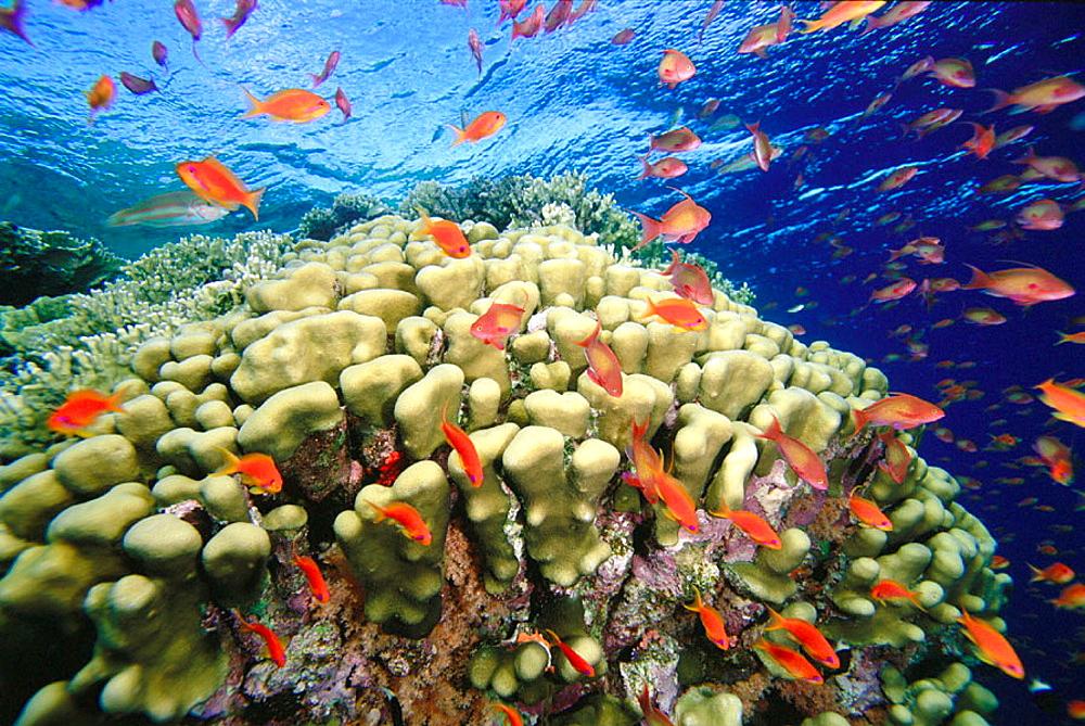 Stony Coral (Porites sp.) and Sea Goldies (Pseudanthias squamipinnis), Red Sea