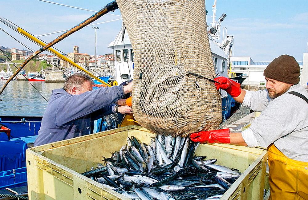 Unloading fish at fishing port, Getaria, Guipuzcoa, Spain