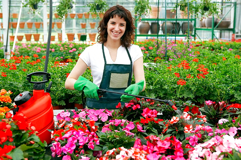Irrigation and fertilizer with sprayer in greenhouse, Flowers: garden balsam and geraniums, Garden Center.