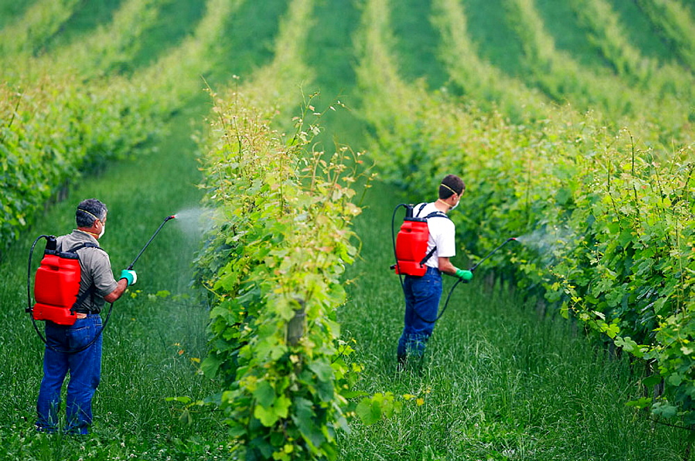 Farmer treating plant with sprayer (insecticide, pesticide, Copper sulphate), Txakoli vineyards, Gipuzkoa, Euskadi, Spain.