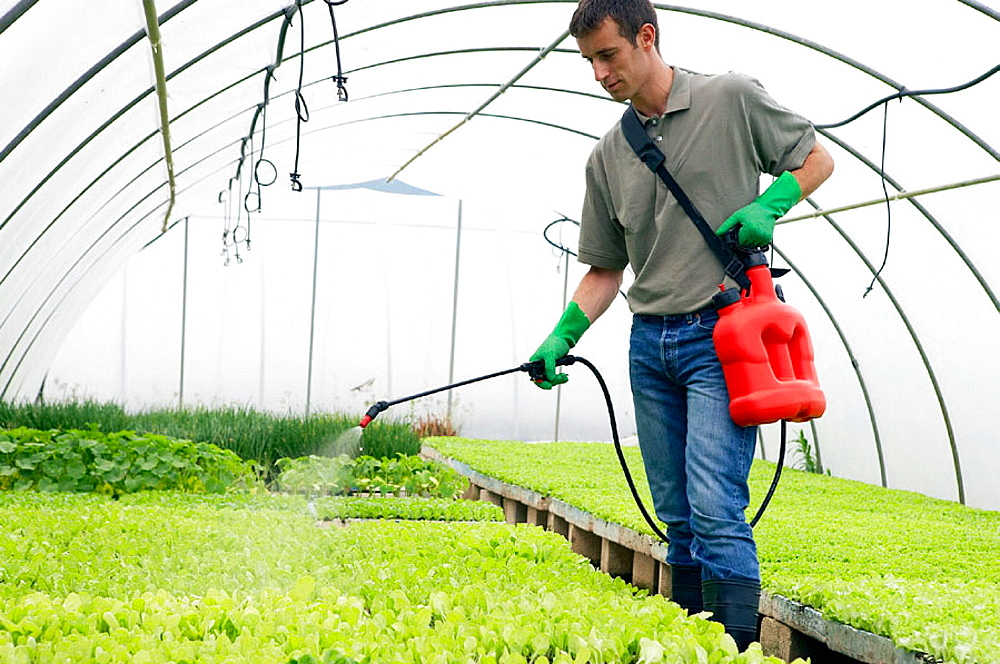 Water and fertilizer with sprayer in greenhouse, Lettuces, Garden Center.