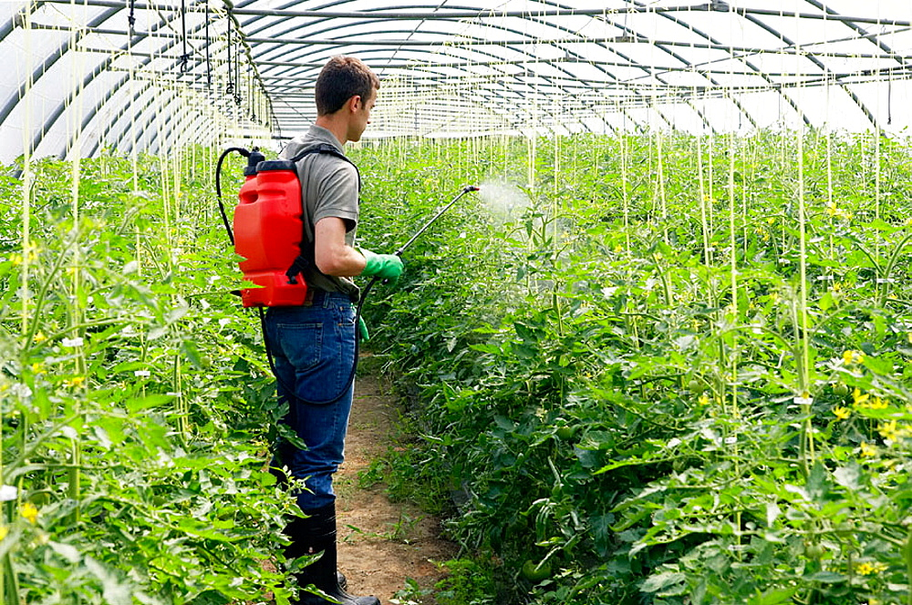 Tomato plant treatment with sprayer (insecticides, pesticides), Greenhouse, Agricultural production.