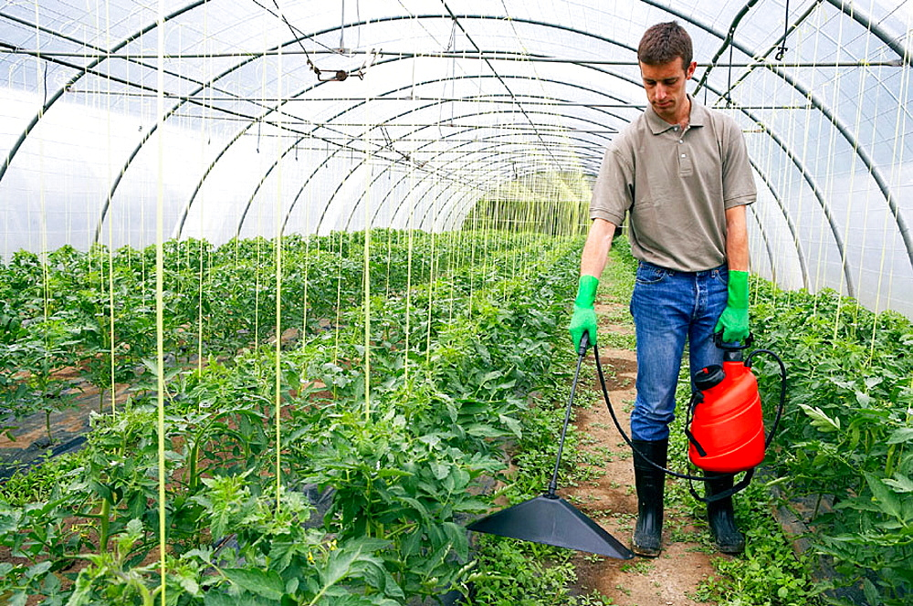Farmer applying herbicide with bell sprayer, Tomato plant, Greenhouse.
