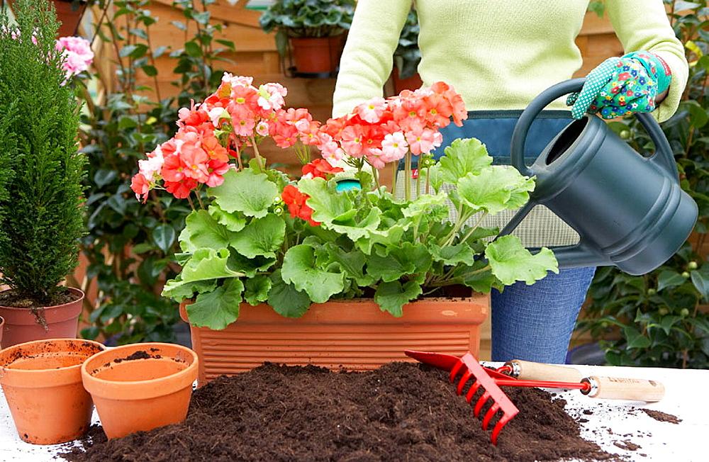 Transplanting flowers, watering plants, geraniums, garden centre, Gabiria, Gipuzkoa, Euskadi, Spain