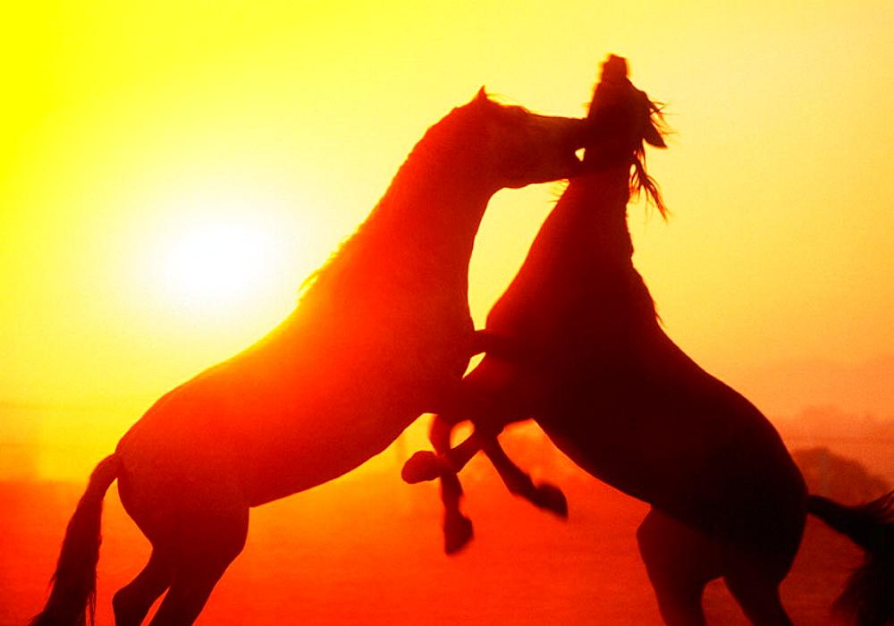 Carthusian horses, Jerez de la Frontera, Cadiz province, Spain
