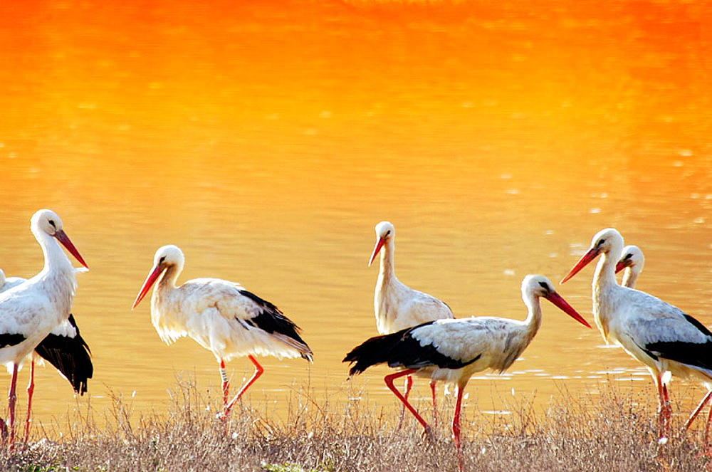 Storks at Donana National Park, Huelva province, Spain - 817-68509
