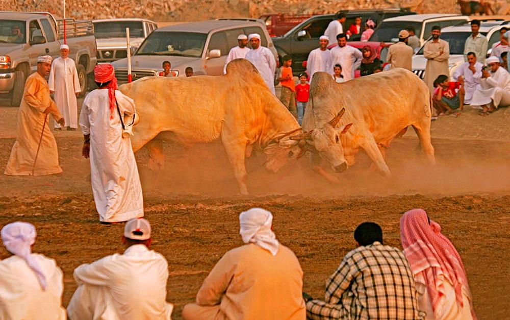 'Bulls fight' at Fujairah, Emirat of Fujairah, UAE.