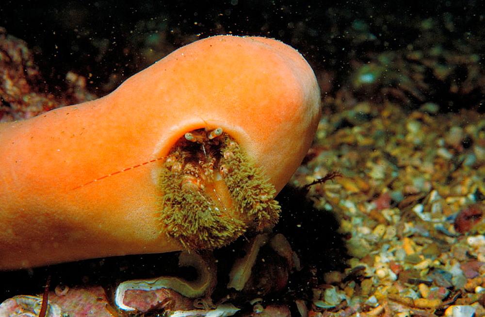 Hermit Crab (Pagurus sp.) and associated Sponge (Suberites domuncula)