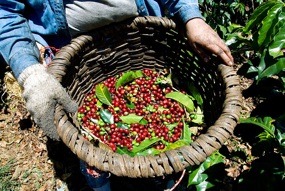 Collector of Arabica quality coffee beans, Coffee plantations near Poas volcano, Central Valley, Costa Rica, Central America.
