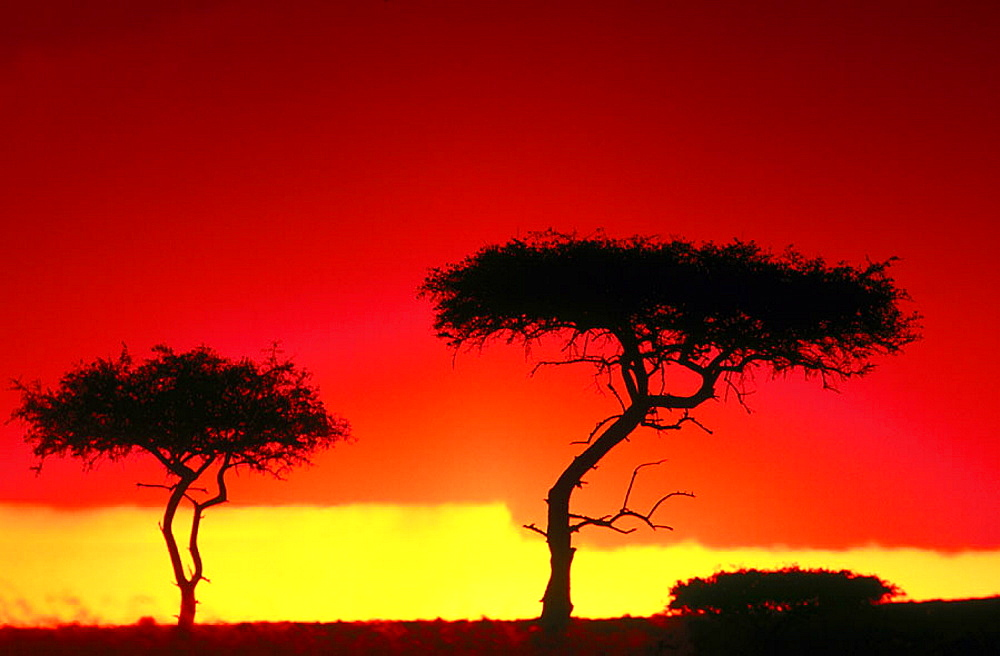 Acacia trees, Masai Mara, Kenya - 817-7325