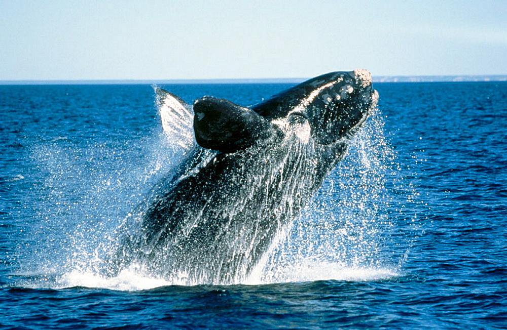 Southern Right Whale (Eubalaena australis), Golfo Nuevo, Patagonia, Argentina - 817-7331