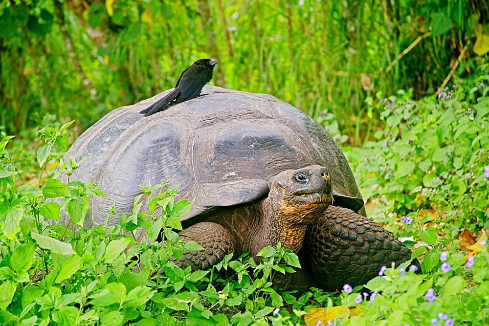 Giant Tortoise in the Highlands with Ani Bird, Isla Santa Cruz, Galapagos Islands, Ecuador.