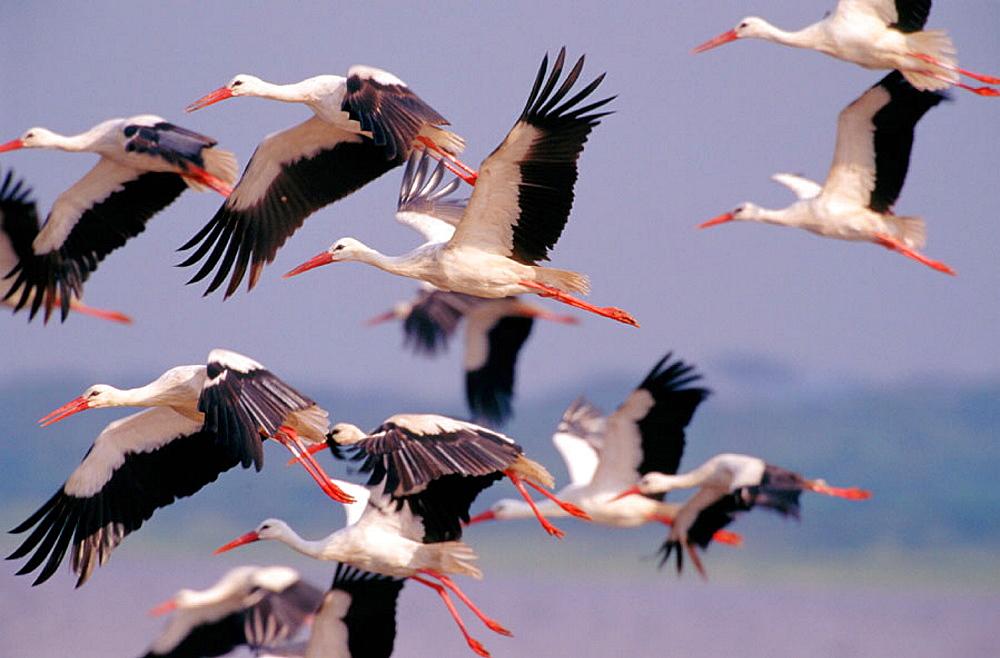 White Storks (Ciconia ciconia), Serengeti NP, Tanzania - 817-7496