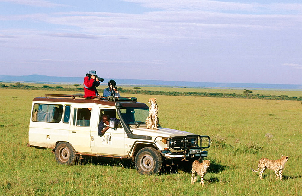 Tourist and cheetah (Acynonix jubatus), Masai Mara Natural Reserve, Kenya