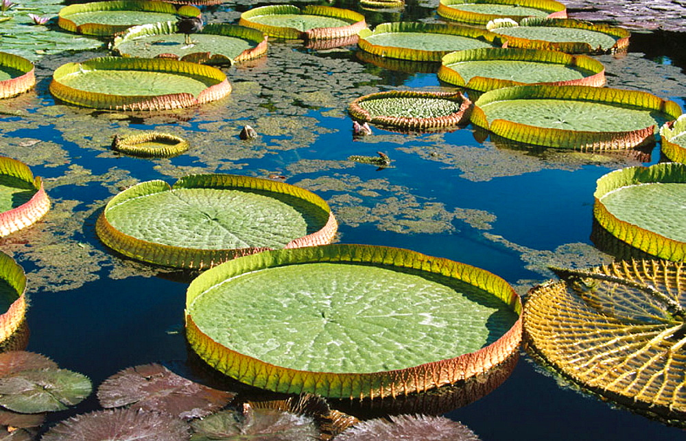 Amazon water lilies, (Victoria amazonica) and (Victoria cruziana), Brazil and Argentina - 817-75870