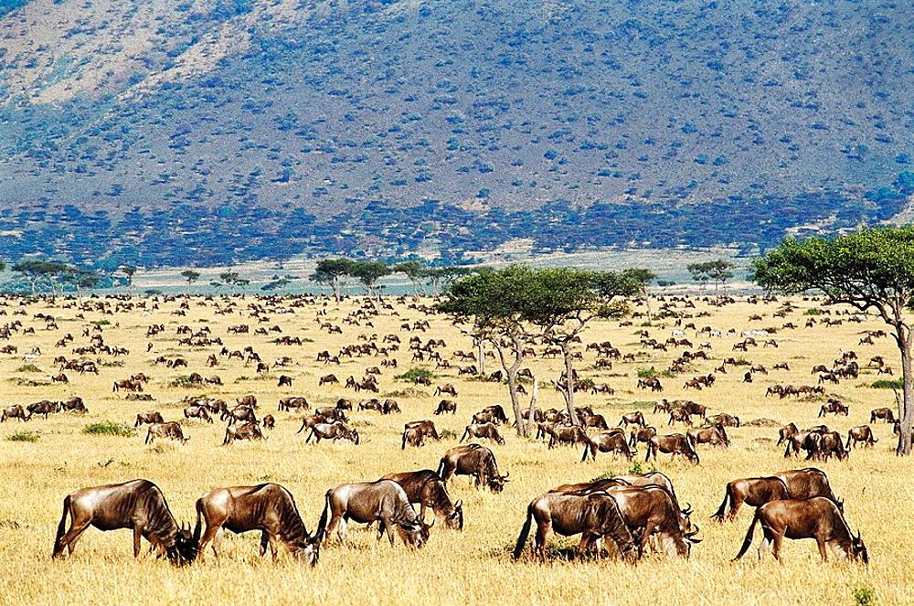 Blue Wildebeest (Connochaetes taurinus) migrating, Masai Mara Nature Reserve, Kenya - 817-76953