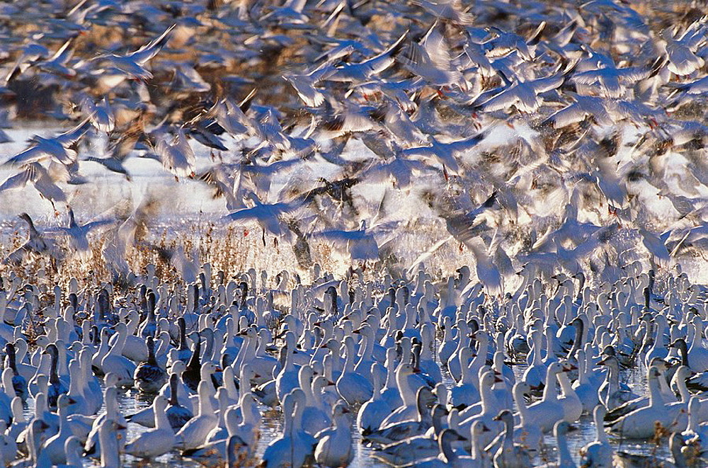 Snow Geese (Chen caerulescens), New Mexico, USA - 817-76958