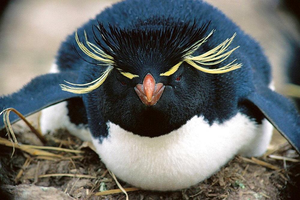 Rockhopper Penguin on nest, Falkland Islands, UK