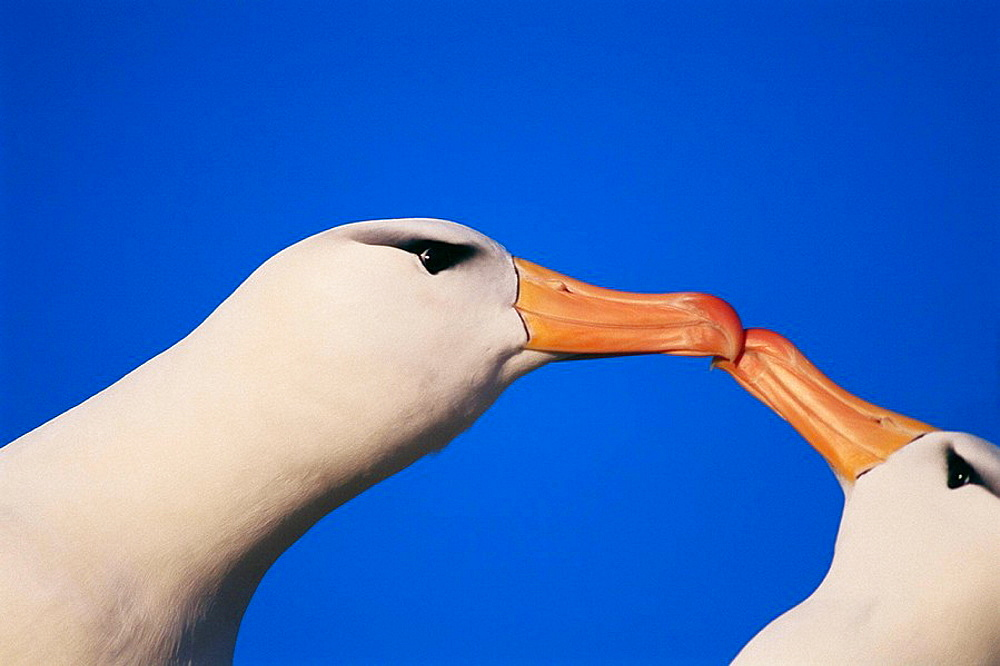 Black-browed Albatross (Diomedea melanophris) courtship, Jason Island, Falkland Islands, UK