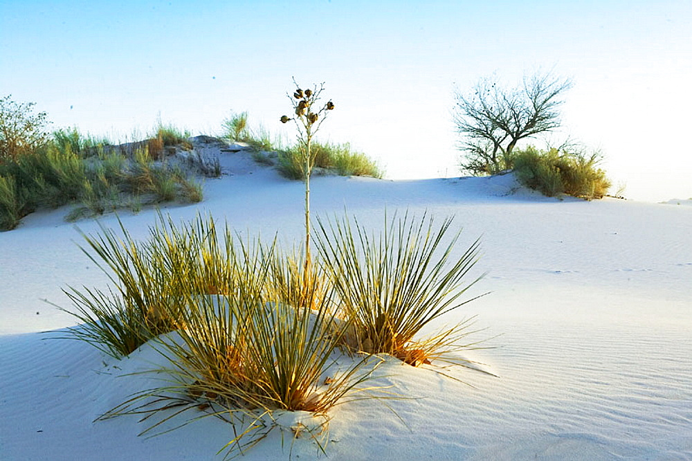 White Sand dunes with Yucca plant in the afternoon, White Sands National Monument, New Mexico, USA