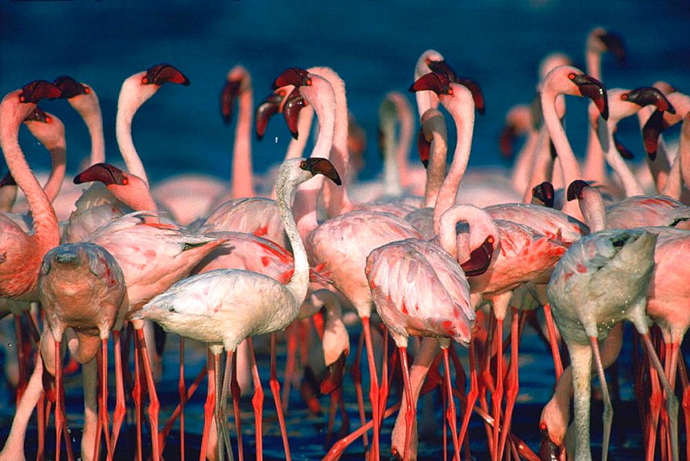 Lesser Flamingoes (Phoeniconaias minor), Lake Bogoria, Kenya