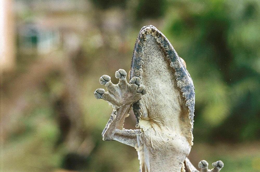 Southern Leaf-tail Gecko (Uroplatus sikorae), Madagascar