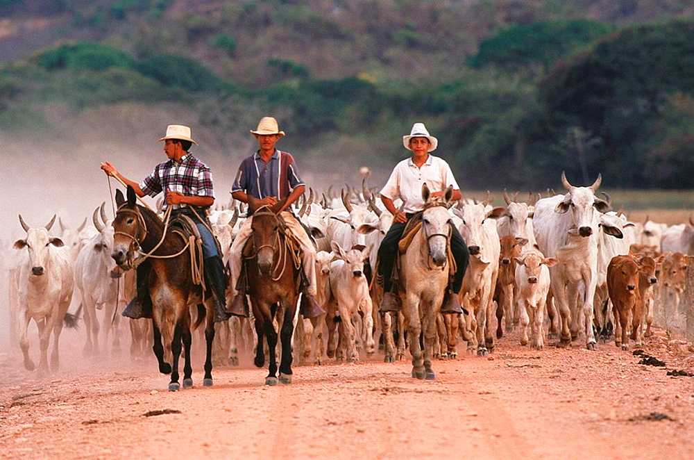 Indian cowboys farming Nelore cattle, Hato Pinero, Los Llanos, Venezuela - 817-83474