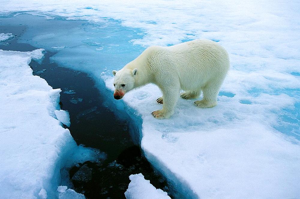 Polar Bear (Ursus maritimus) - 817-83748