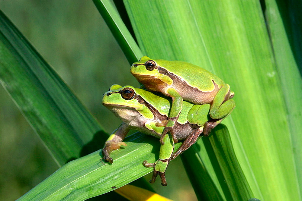 Common Tree Frog (Hyla arborea), Alsace, France